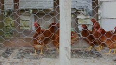Farm Raised Chickens Stock Footage