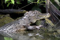 Spectacled caiman or white caiman (caiman crocodilus), tortuguero, tortuguero Stock Photos
