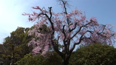 Japans Cherry Blossoms Tree Stock Footage