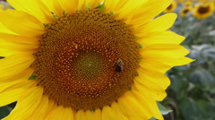 Sunflower and Bee Stock Footage