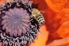 Stock Photo of honey bee (apis mellifera var carnica), in flight over pistil and and pollen