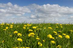 Stock Photo of meadow with dandelions (taraxacum sect. ruderalia) in summer, nutrient-rich m