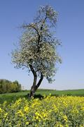 blossoming apple tree (malus domestica) in a field of rape (brassica napus),  - stock photo