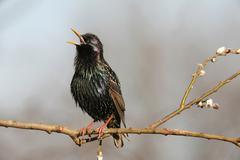 Starling (sturnus vulgaris), displaying courtship, singing, allgaeu, bavaria, Stock Photos