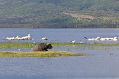 Stock Photo of african buffalo (syncerus caffer) and white pelicans (pelecanus onocrotalus),