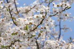 Stock Photo of blossoming cherry (prunus avium), ukraine, eastern europe