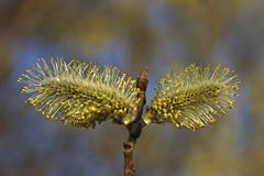flowering goat willow (salix caprea), two male flowers, baden-wuerttemberg, g - stock photo