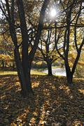 oak trees (quercus) suffused with light at the in the autumnal ostpark, munic - stock photo