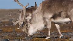 Wild Arctic reindeers in natural habitat Stock Footage