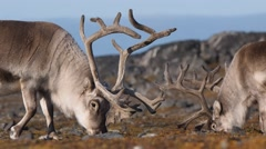 Wild Arctic reindeers eating tundra plants - Spitsbergen, Svalbard - stock footage