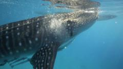 Whale shark filter feeding underwater - stock footage