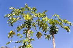 papaya or pawpaw tree (carica papaya), northern thailand, thailand, asia - stock photo