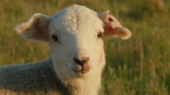 Cute Young Lamb Looking at the Camera and Bleating Stock Footage