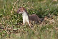 Ermine, short-tailed weasel (mustela erminea) with summer coat, sitting on a  Stock Photos