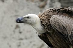 Griffon vulture (gyps fulvus), renaissanceschloss rosenburg falconry, lower a Stock Photos