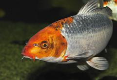koi, auch nishikigoi (cyprinus carpio), in aquarium, deutschland koi, or nish - stock photo