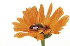 Orange marigold (calendula) with soft gel capsule Stock Photos