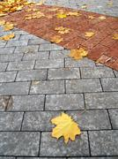 Stock Photo of leafves of maple on paving