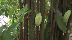 Cacao pod zoom in Stock Footage