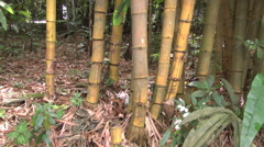 Brazil bamboo in jungle tilts p Stock Footage