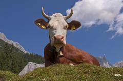 cow on a alm or mountain meadow in the kaisergebirge mountain range in tyrol, - stock photo