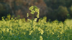 Blooming Canola Plants Stock Footage