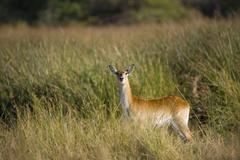 Stock Photo of lechwe, or southern lechwe antelope (kobus leche), okavango delta, botswana,