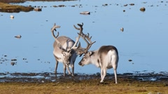 National Geo - wild reindeers by the lake Stock Footage