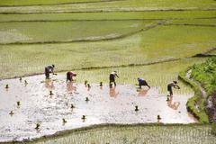 women planting rice in terraced rice fields near the ban xieng fa village, ta - stock photo