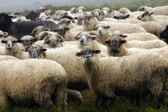 sheep, varasoaia valley, bihor mountains, parcul natural apuseni, romania, eu - stock photo