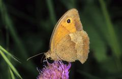 meadow brown (maniola jurtina), female drinking nectar - stock photo