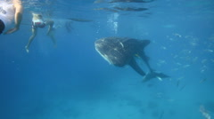 Whale shark and tourists snorkeling Stock Footage