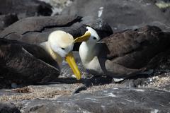 Stock Photo of courtship ritual, waved albatross (diomedea irrorata), galapagos islands, ecu