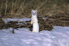 Ermine or stoat or short-tailed weasel (mustela erminea) in its winter coat m Stock Photos