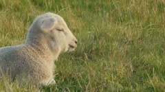 Closeup of a Cute Lamb Basking in Sunlight Stock Footage