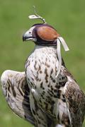Saker falcon (falco cherrug) wearing falconry hood Stock Photos