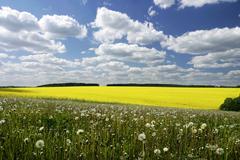 Field of oilseed rape, forage rape (brassica napus subsp. napus), chric, czec Stock Photos
