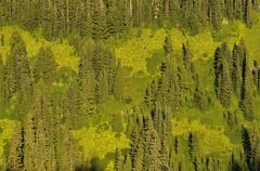 coniferous forest, mount rainier national park, washington, usa, north americ - stock photo