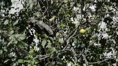 Single apple on a tree Stock Footage