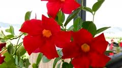 Red dipladenias, closeup of flowers Stock Footage