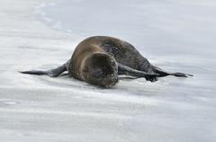young california sea lion (zalophus wollebaeki), espanola island, galapagos,  - stock photo