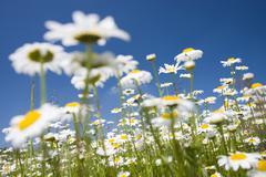 Oxeye daisies (leucanthemum vulgare), vyzkum hill, white carpathian mountains Stock Photos