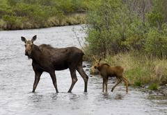 moose (alces alces), cow and calf crossing upper blackstone river, dempster h - stock photo