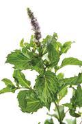 Peppermint (mentha x piperita) Stock Photos