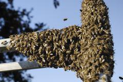 Swarm of bees (apis melifera) gathering on an aluminium ladder Stock Photos
