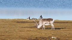 Wild reindeer and barnacle gees - Arctic, Svalbard Stock Footage