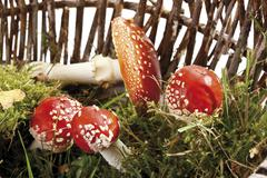 Stock Photo of fly agaric or fly amanita mushroom (amanita muscaria) in a basket