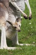 Red kangaroo (macropus rufus), joey in pouch, captive in zoo Kuvituskuvat