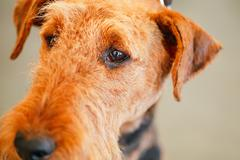Brown airedale terrier dog Stock Photos