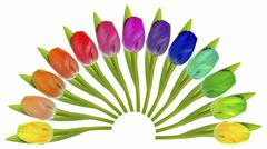 Stock Photo of colourful tulips arranged in a fan-shape on white